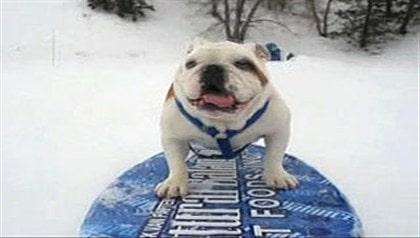 Hund på snowboard har charmat världen