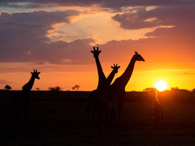Solnedgång i Masai Mara.