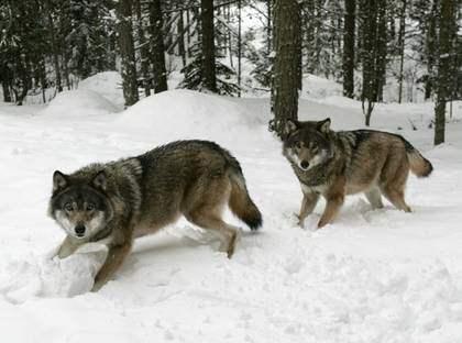 STAMMEN SKA MINSKAS. Regeringen har bestämt att vargstammen i Sverige inte får överstiga 210 djur. Foto: Martina Huber