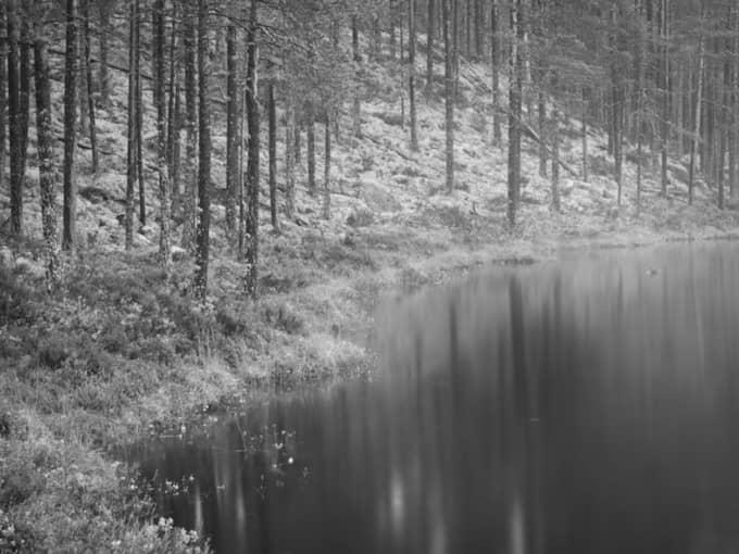 SISTA BILDEN? Den uråldriga gammelskogen i Ore skogsrike i Dalarna hotas av avverkning. Foto: Marcus Elmerstad