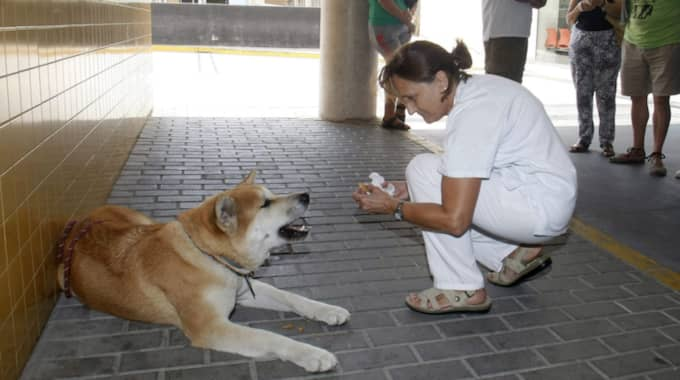 elda (alicante) 2016-09-01 epa05518350 a member of the medical staff feeds dog maya at elda's hospital in elda, alicante, spain, 01 september 2016. maya, a japanese akita inu, has been waiting for four days at the hospital entrance since its 22-year-old owner was admitted at the er for an emergency surgery due to an appendicitis. the owner's father has thanked the hospital for the care that members of the staff are giving to maya. epa/morell photo: morell / epa / tt / kod 29035 ***betalbild***** Foto: Morell / Epa / Tt / EPA TT NYHETSBYRÅN