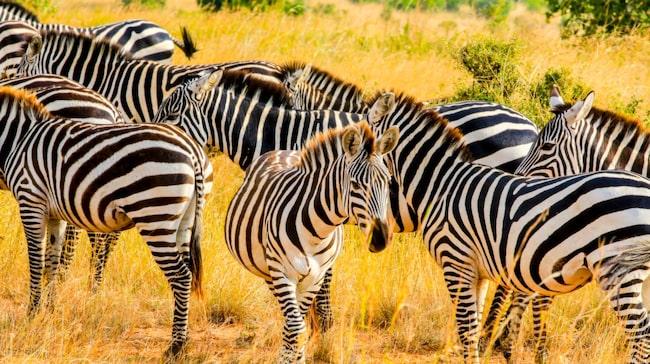 Älskar du safari ska du åka till Kenya. Zebror, giraffer, lejon, elefanter, lejon och leoparder är bara ett litet axplock av alla djur du kan få se på nära håll i någon av alla nationalparkerna runt om i landet.