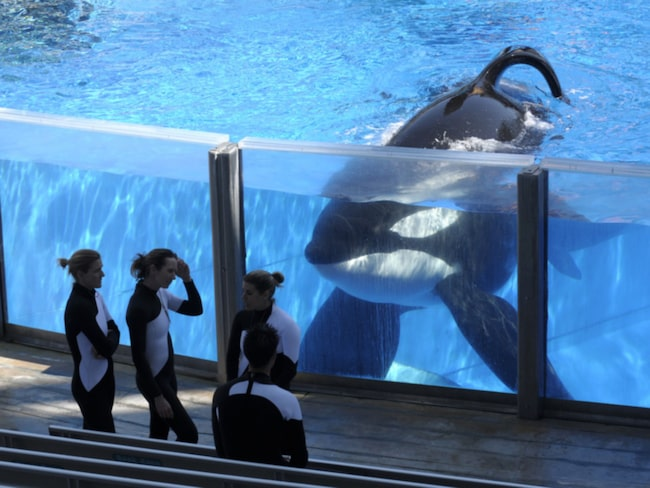 """Filmen """"Blackfish"""" fick katastrofala följder för Sea World – aktien störtdök, besökarna uteblev och sponsorerna hoppade av."""