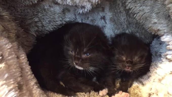 Kattungarna var bara ungefär tio dagar gamla. Foto: Facebook