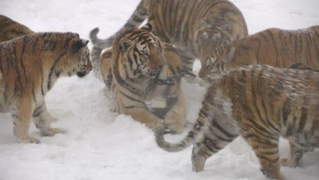 Hemska sanningen bakom tigervideon som setts av miljoner