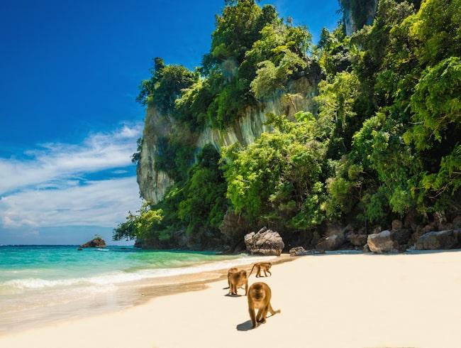 Aporna bor i bergen ovanför en strand på den thailändska ön Koh Phi Phi Don.