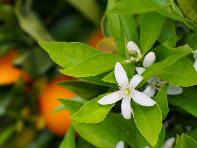 Blommorna är vita och doftar oftast väldigt gott. Dessutom sätter de frukt året om vilka sedan sitter kvar länge och mognar långsamt.